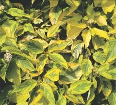 дерен  белый Cornus alba Spaethii
