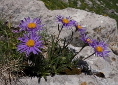 Астра альпийская Глория