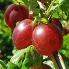 Ribes uva-crispa Sirius