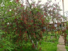 Вишня Зустріч ягоди