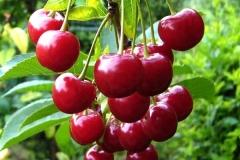 Prunus cerasus Zustrich