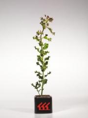 Падуб остролистный Ilex aquifoliumвозраст 2 года