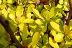 Berberis thunbergii Golden Horizon