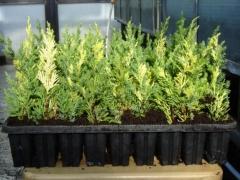 Juniperus chinensis Stricta Variegata
