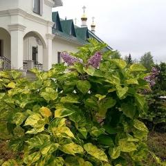 Сирень обыкновенная пёстрый лист