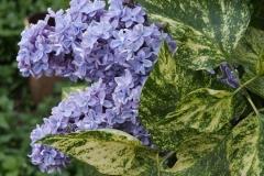 Сирень Аукубофолия цветок