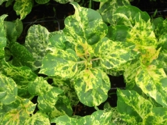 Сирень Aucubaefolia листья