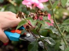 Летняя обрезка чайно-гибридных роз