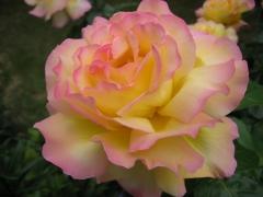 Троянда Глорія Дей