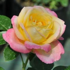 Роза Глория Дей цветок