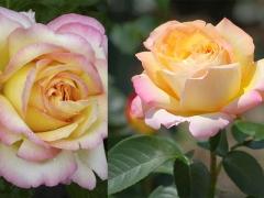 Троянда Gioia