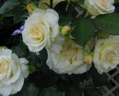 Роза плетистая Шневальцер