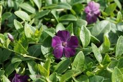 Синильщик Верино цветы