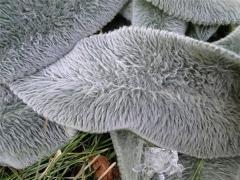 Чистец византийский листья