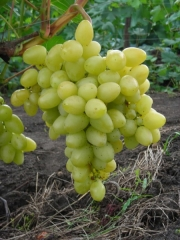 Виноград столовый Аркадия