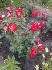 Роза чайно-гибридная Альянс куст