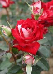 Роза Альянс бутон