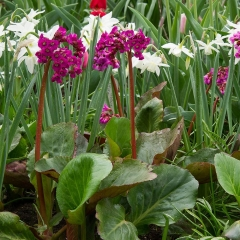 Бадан сердцелистный Винтерглют цветы