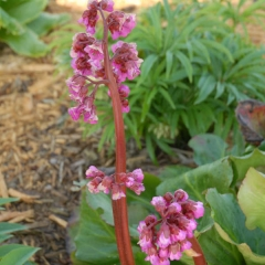 Бадан Винтерглют цветение