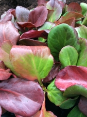 Бергения сердцелистная Винтерглют листья