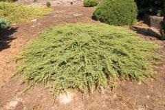 Можжевельник обыкновенный Грин Карпет зеленый