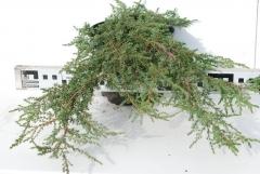 Можжевельник обыкновенный 'Грин Карпет' 3 года