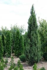Можжевельник обыкновенный  4м