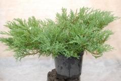 Можжевельник горизонтальный Андорра Компакт / Juniperus horizontalis Andorra Compact