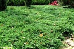Можжевельник горизонтальный Принц Уэльский <br>Ялівець горизонтальний Принц Уельський <br>Juniperus horizontalis Prince of Wales