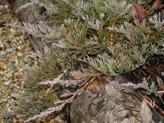 Почвопокровный стелющийся сорт можжевельника