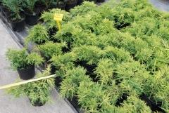 Можжевельник Пфитцериана Ауреа / Juniperus pfitzeriana Aurea