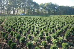 Buxus sempervirens 35 cm
