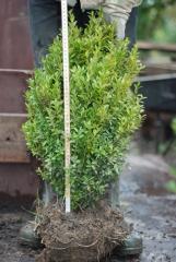 Продам самшит вічнозелений 50 см ком