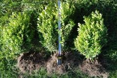 Самшит вічнозелений 40 см