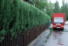 Можжевельник скальный Juniperus scopolorum Skyrocket. Живая изгородь