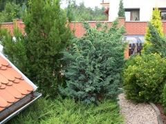 Juniperus squamata Мейери