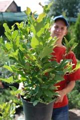 Magnolia hybrids Betti 5 лет (сентябрь)
