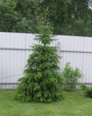 Ель сербская Колоновидная<br>Ялина сербська Колоновидна<br>Picea omorika