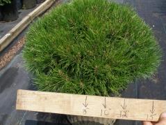 Pinus 'Pumilio'