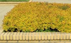Спирея японская Голдфлейм использована как почвопокровник