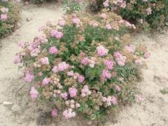 Спирея японская Литл Принцесс (розовая)<br>Спірея японська Літл Принцесс (рожева)<br>Spiraea japonica Little Princess