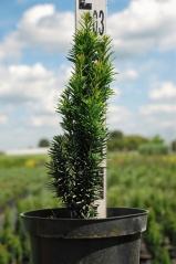 Тис ягодный Фастигиата Робуста - высота 30 см