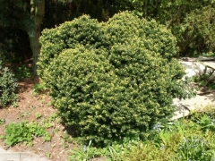 Тис остроконечный Нана <br>Taxus cuspidata f. Nana <br>Тис гострокінцевий Нана
