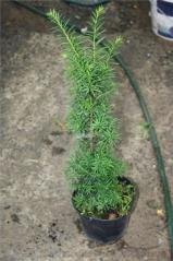 Живая изгородь из Тиса среднего Хиксии