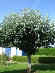Арония / Рябина черноплодная (шаровидная на штамбе) <br> Аронія / Горобина чорноплодова (шароподібна на штамбі) <br>Aronia melanocarpa