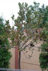 Рябина черноплодная / Aronia melanocarpa