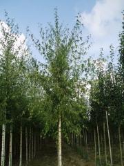 Береза плакучая 'Лациниата' <br>Береза Плакуча 'Лациниата'<br>Betula pendula 'Laciniata'