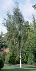 Береза 'Laciniata'
