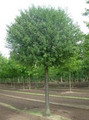 Вишня кустарниковая Умбракулифера (шаровидная) <br> Вишня кущова Умракуліфера (шароподібна)<br> Prunus cerasus Umbraculifera