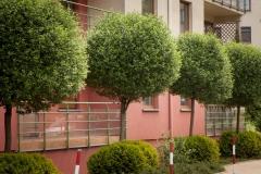 Prunus cerasus umbraculifera